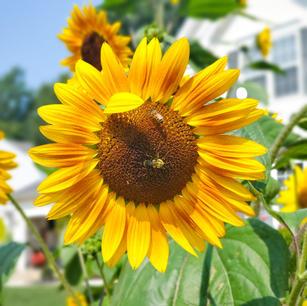 Amherst Sunflower & Bees