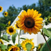 Amherst Sunflowers