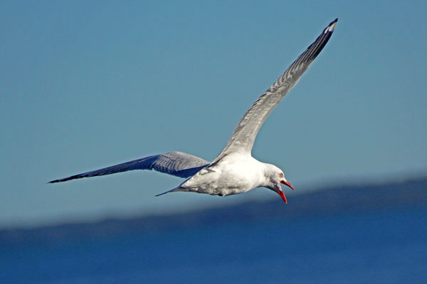 Red-billed Gull in flight