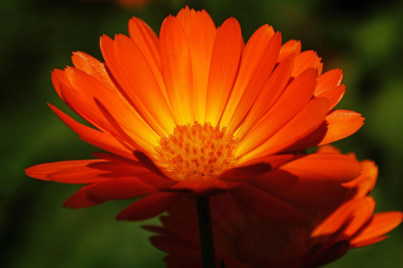 Gorgeous Gerbera