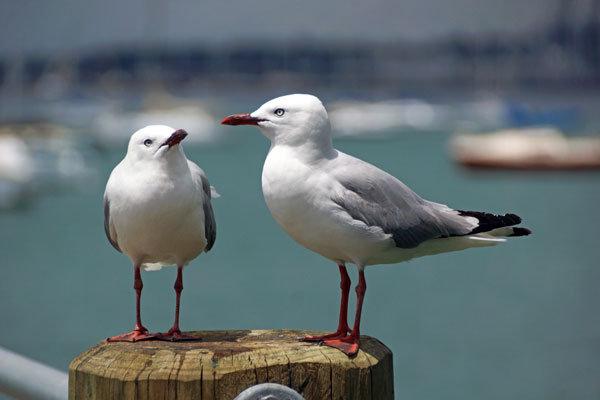 Seagull Tete-a-Tete