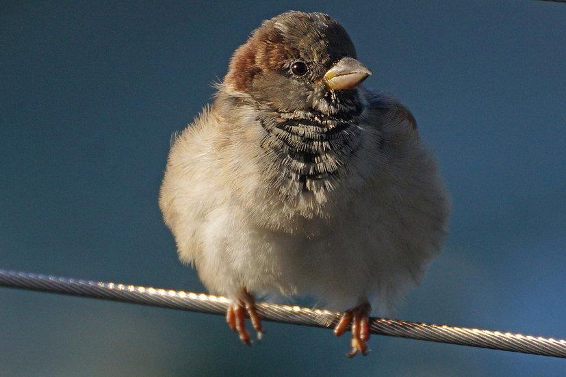 Fluffed up Sparrow