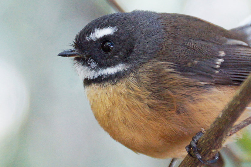 Up close and personal - Fantail