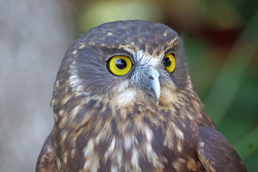 Morepork - up close and personal