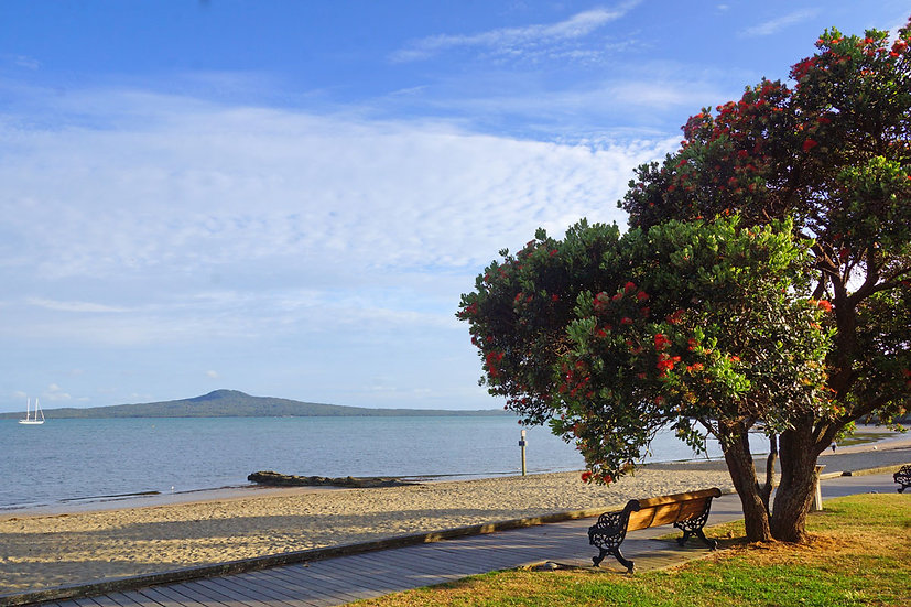 Flowering Pohutakawa on St. Heliers Beach