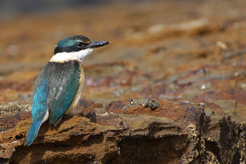 Sacred Kingfisher - adult male