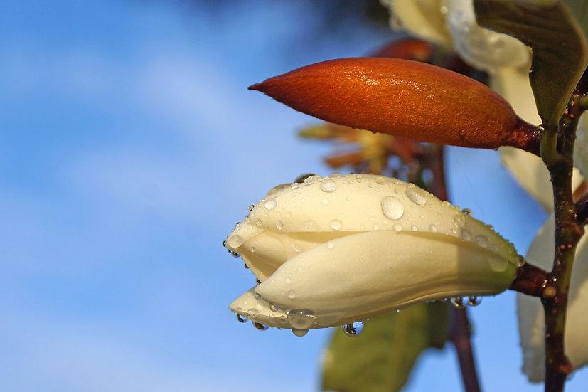 Raindrops on Magnolias