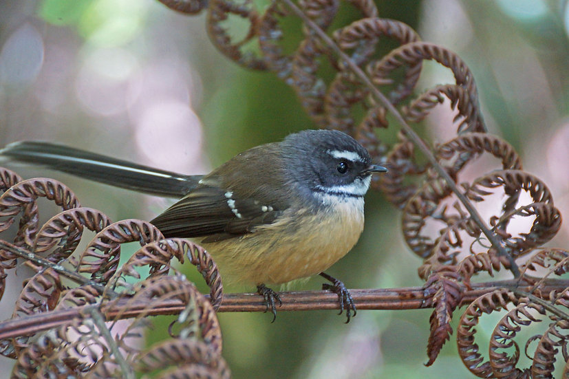 Fantail between the Fronds