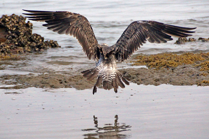 Skua landing on the mudflats