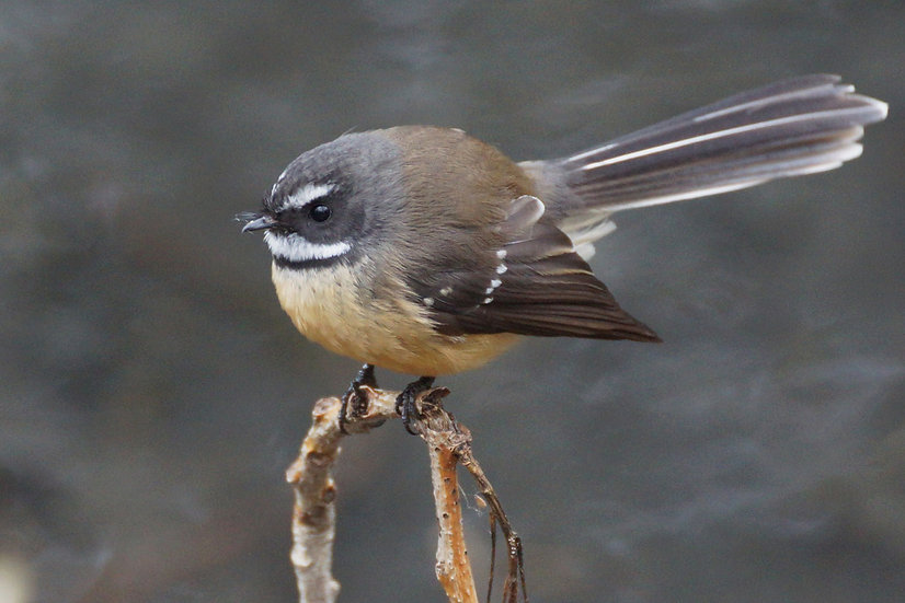 Fantail Friday
