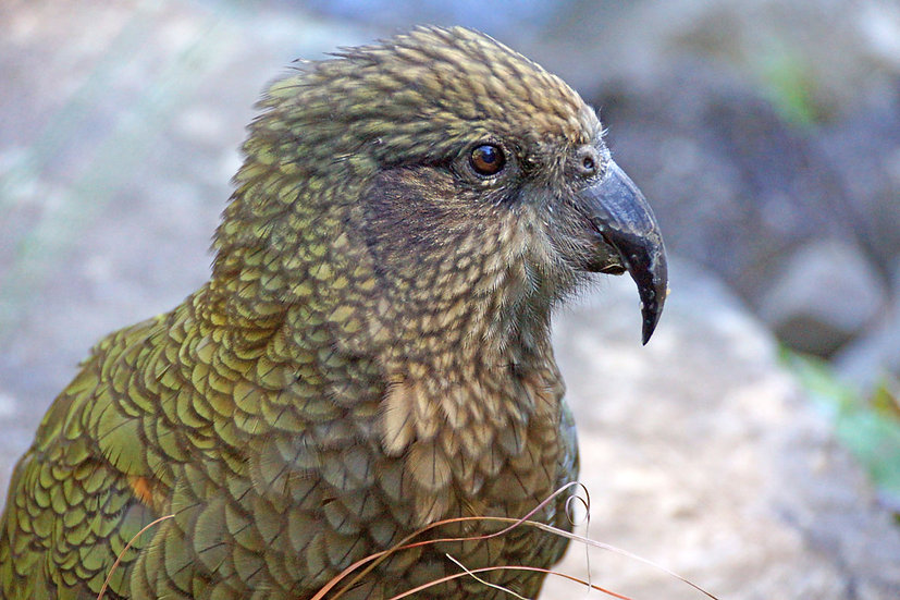 Kea - up close and personal