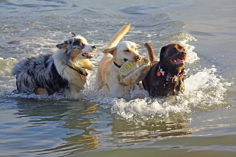 Hounds having fun in the Bay