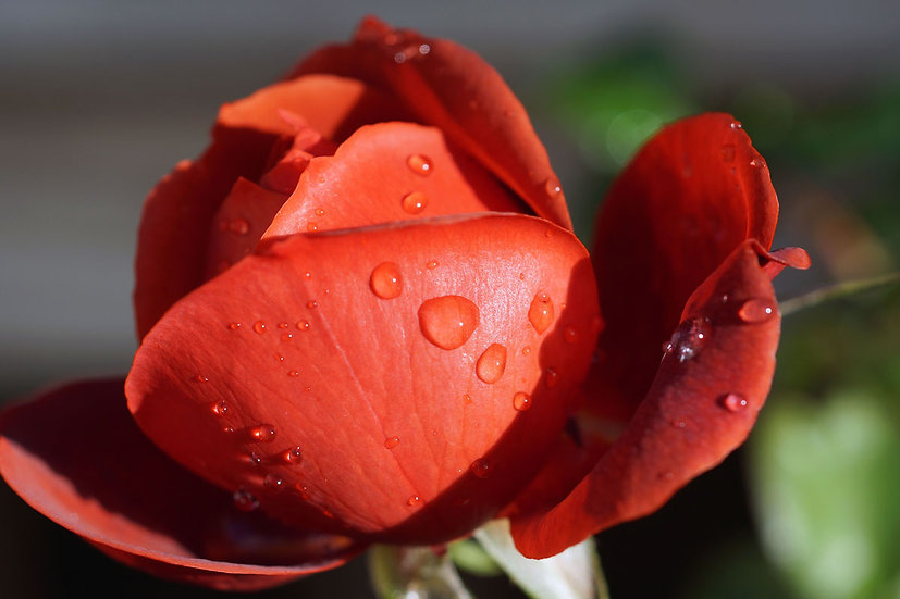 Raindrops on red rose