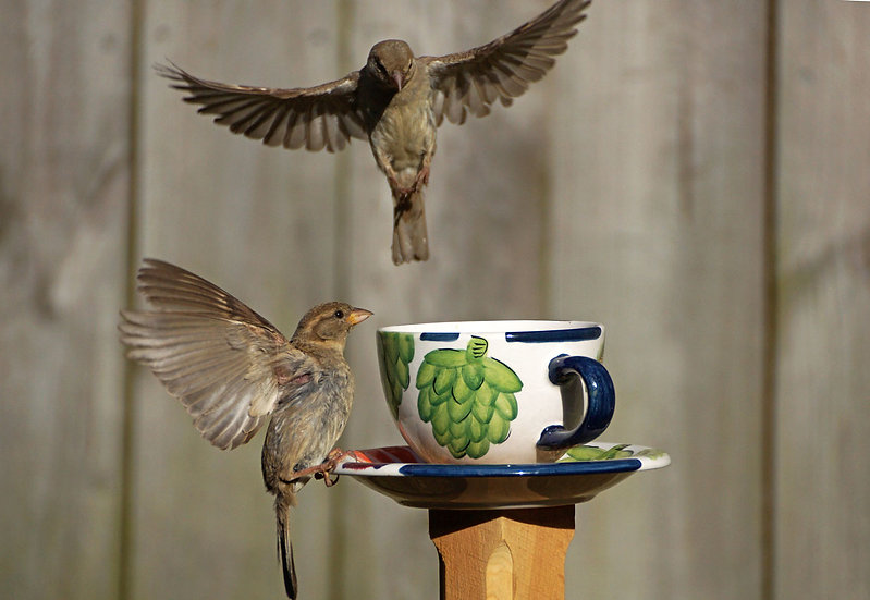 Teacup Sparrows 1