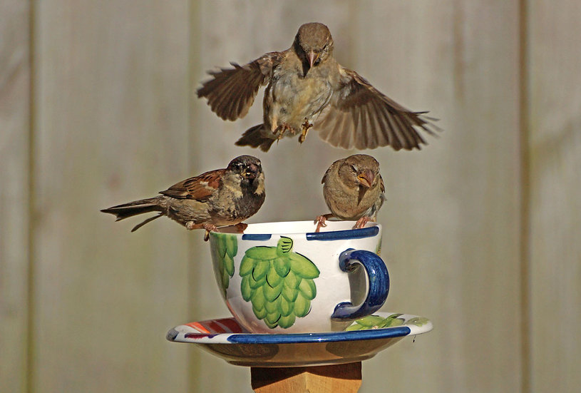 Teacup Sparrows 3