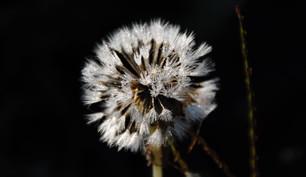 Dandelion covered in rime