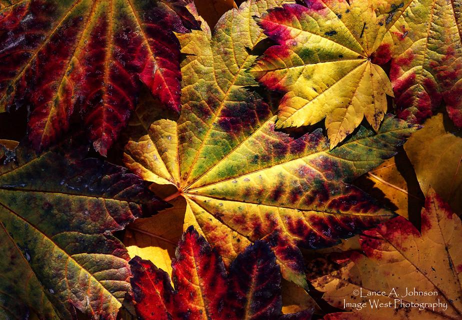 Vine Maple Leaves, Snoqualmie National F
