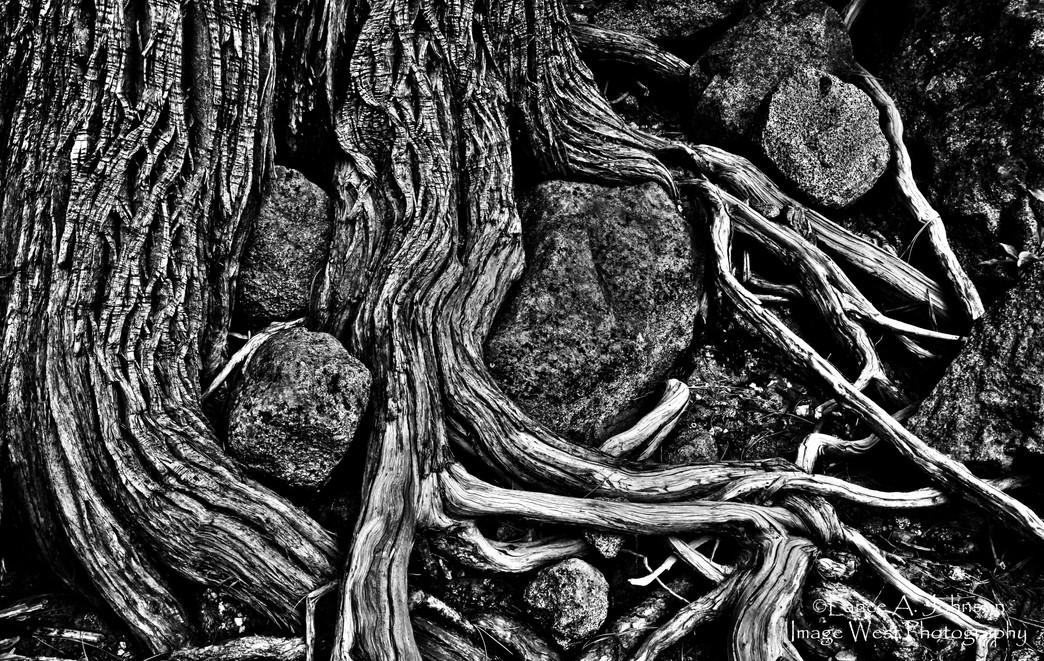 Root Study, Icicle Creek near Leavenwort