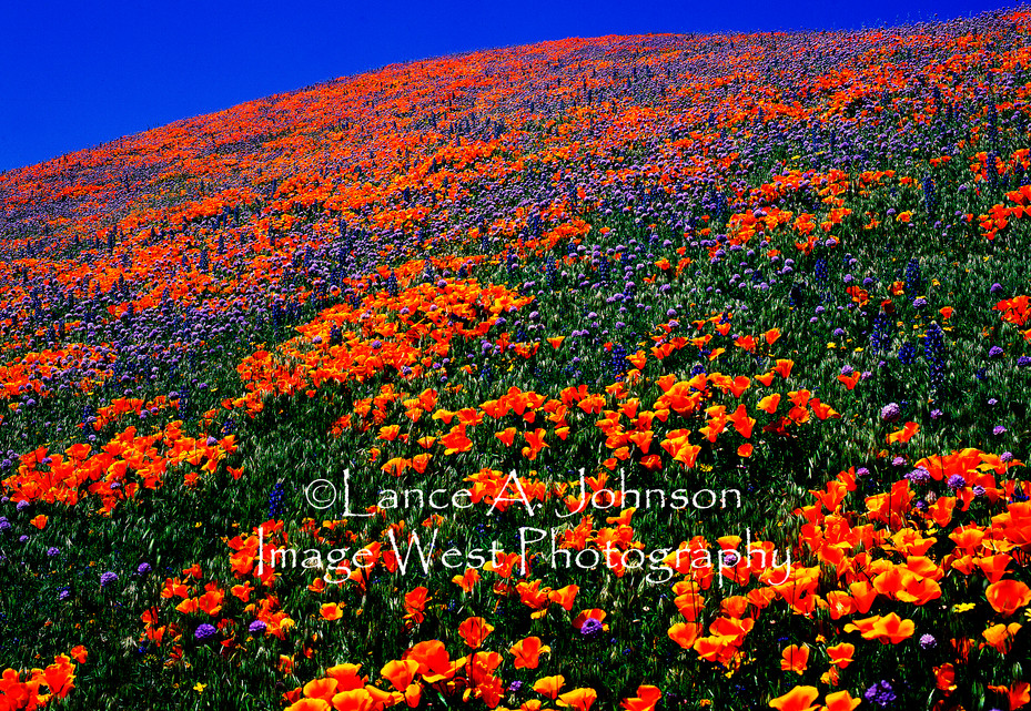 Tehachapi Mountain Wildflowers, 2 CA.jpg