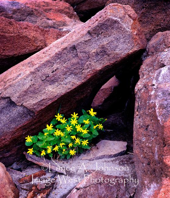 Flowers on top of Bear Mountain,WA.jpg
