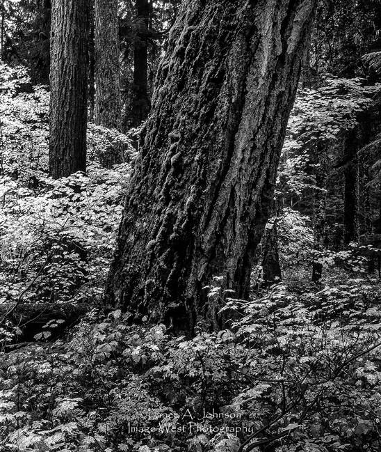 Mt Rainier Understory, Mt Rainier Nation