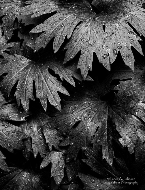 Nettle Leaves, Gifford Pinchot National