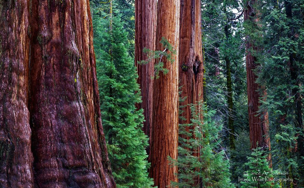 Sequoia Trees, Sequoia National Park, CA