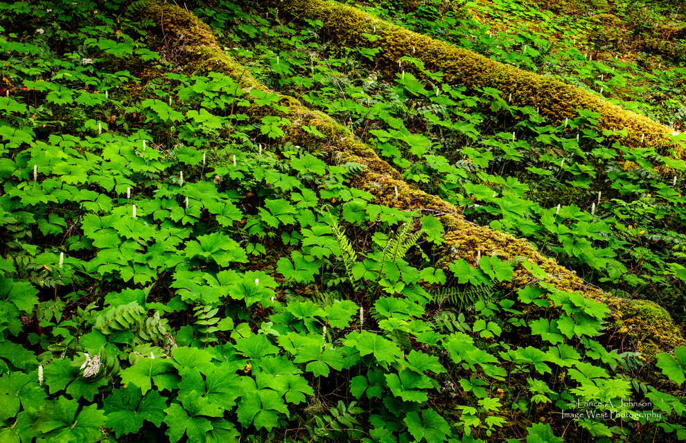 Vanilla Leaf Forest Floor, Mt Rainier Na