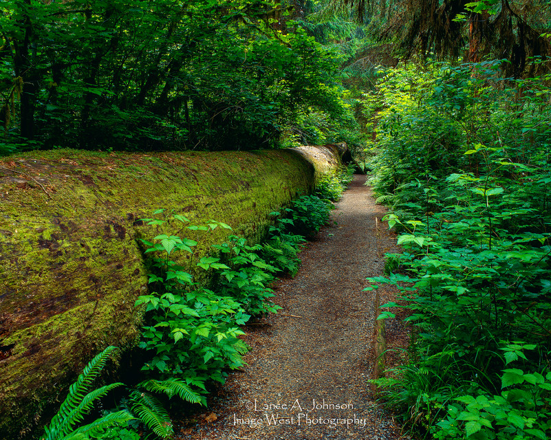 Trail in Hoh Rain Forest, Olympic Nation