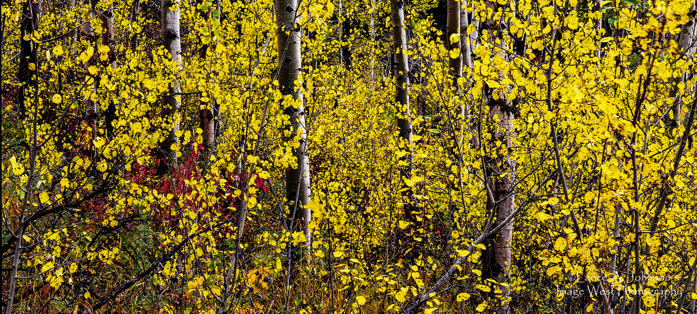 Quaking Aspen Grove, MT.jpg