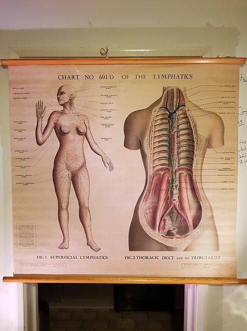 Lymphatics Anatomical Chart 601-d  No1