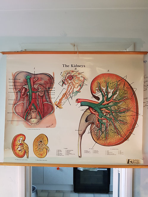 The Kidneys Anatomical Chart