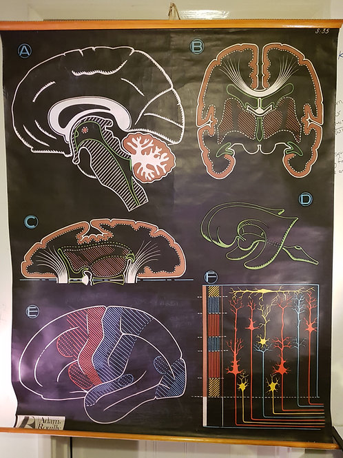 The Brain Anatomical Chart S35