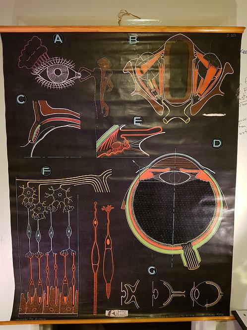 Anatomical Chart of the Eye - P Sougy 1954