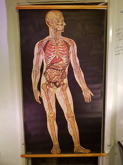 Anatomical Chart - Man - 1944