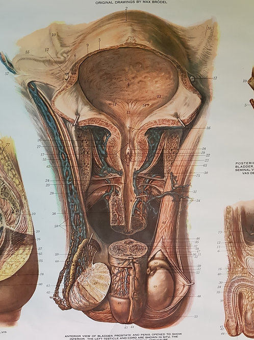 Benito Urinary Organs Anatomical Chart