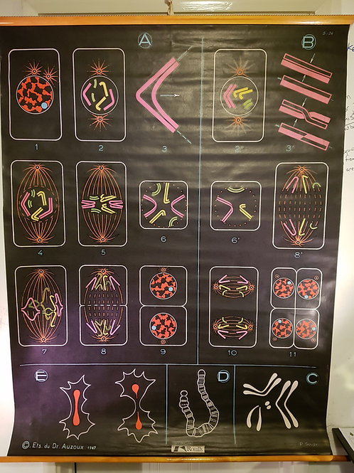Cell Division Anatomical Chart