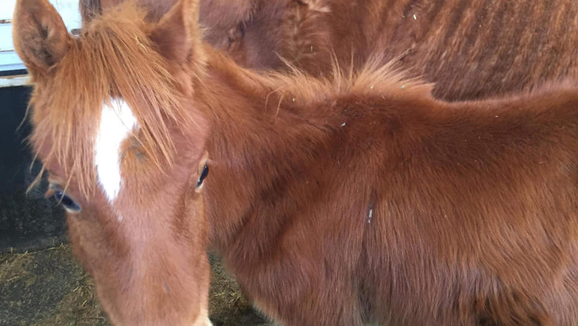 Foal - Mother is starved