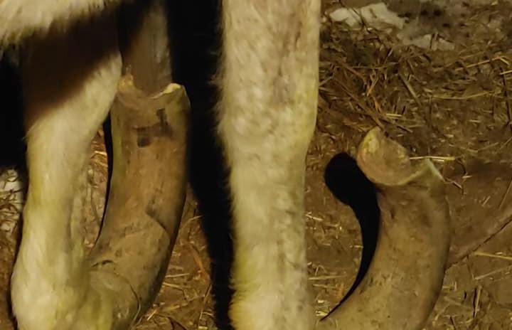 Valentino's hooves!