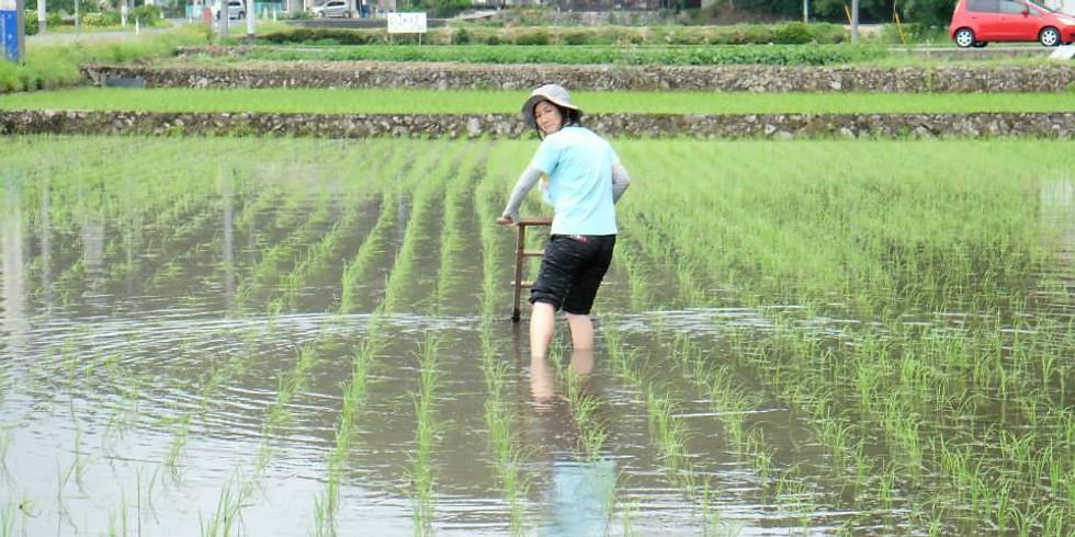 <雨天のため中止>【たんぼゼミ】田んぼの草取りと山菜採り、土居田屋ホタルの夜
