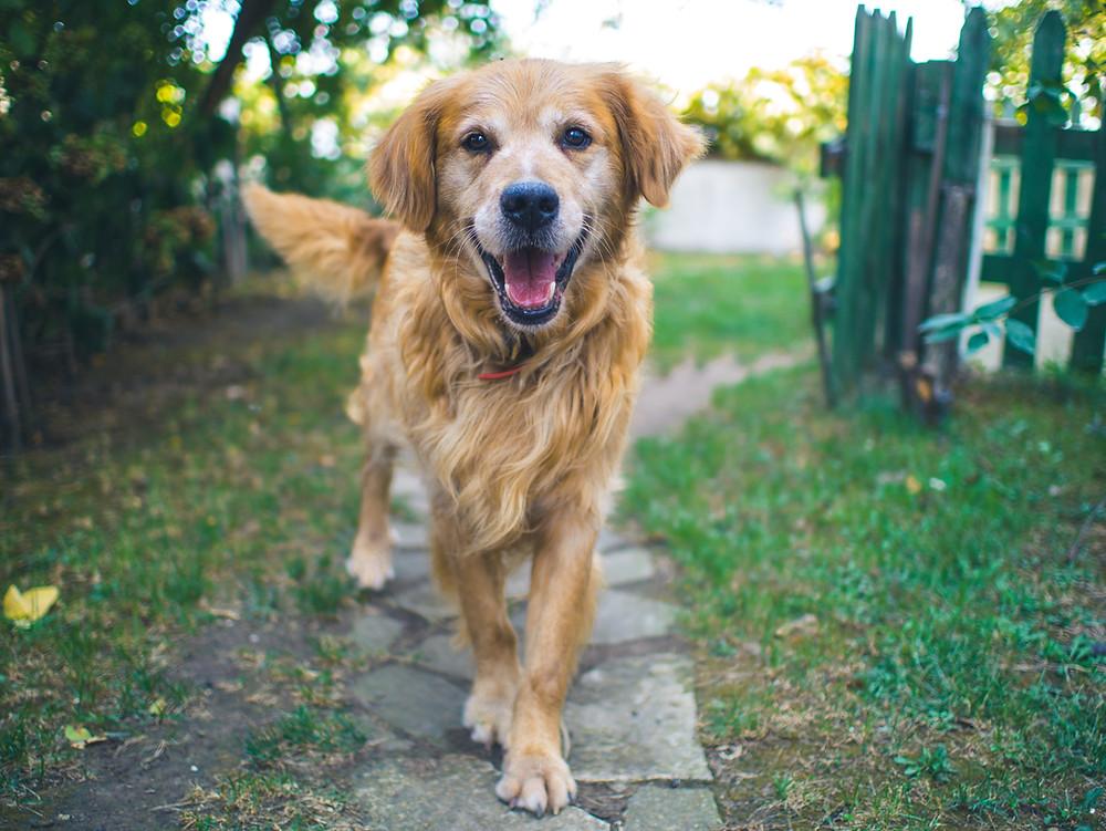 dog; Golden Retriever