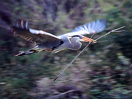 GBH Flying Materials To Nest (B).jpg