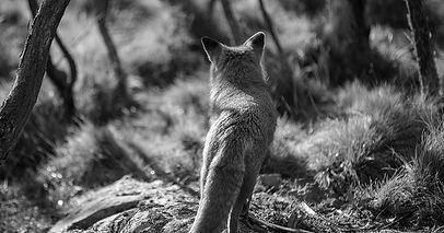 foxy b&w.jpg