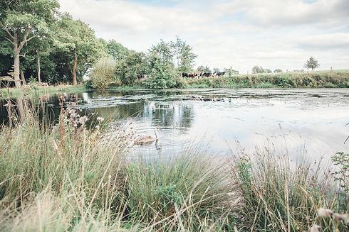 swan lake cows.jpg
