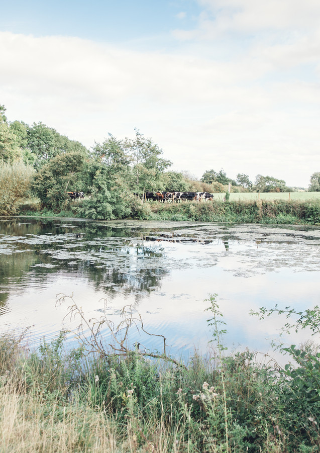 lake cows swan.jpg