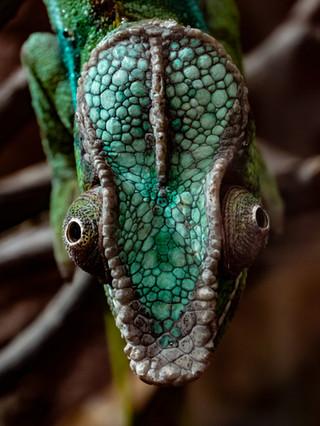 Chamäleon im Reptilium Landau