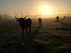 Taureau au lever du soleil