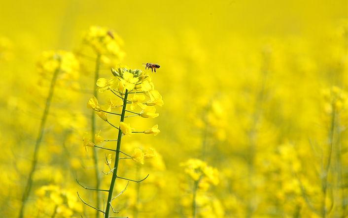 yellow-and-bee-1368855.jpg