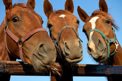 bigstock-three-heads-of-a-horses-31983239