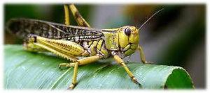 Locust1.jpg